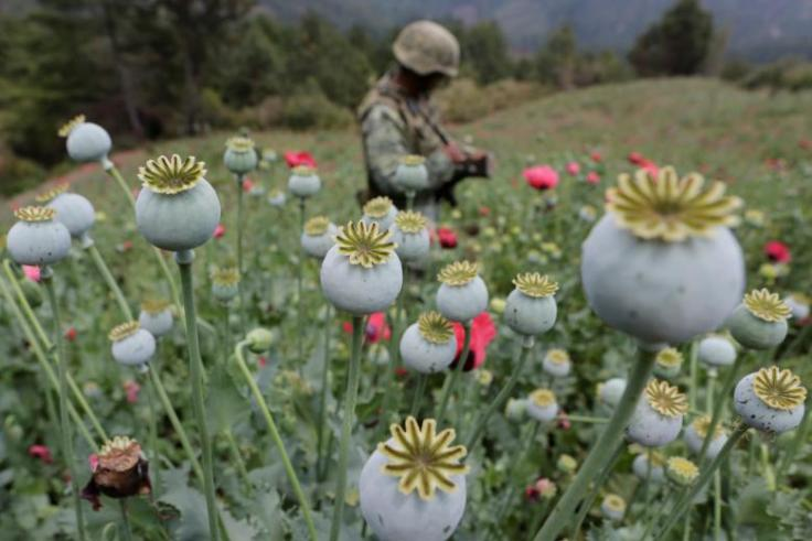 A soldier stands guard beside poppy plants before a poppy field is destroyed during a military operation in the municipality of Coyuca de Catalan, Mexico